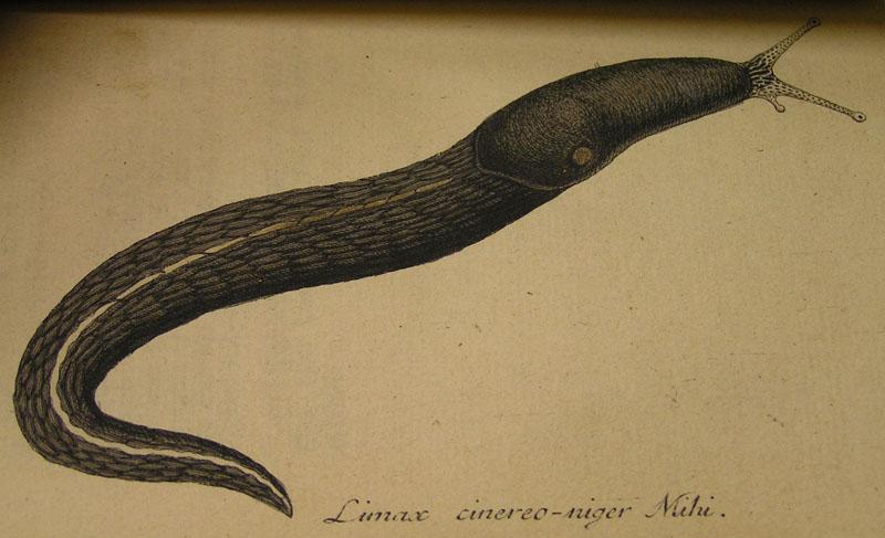 Limax cinereoniger Wolf 1803