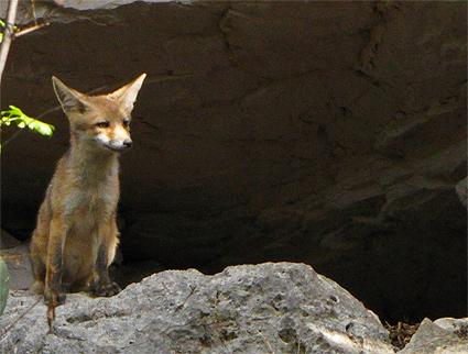 Domanda: qual � il richiamo della volpe?