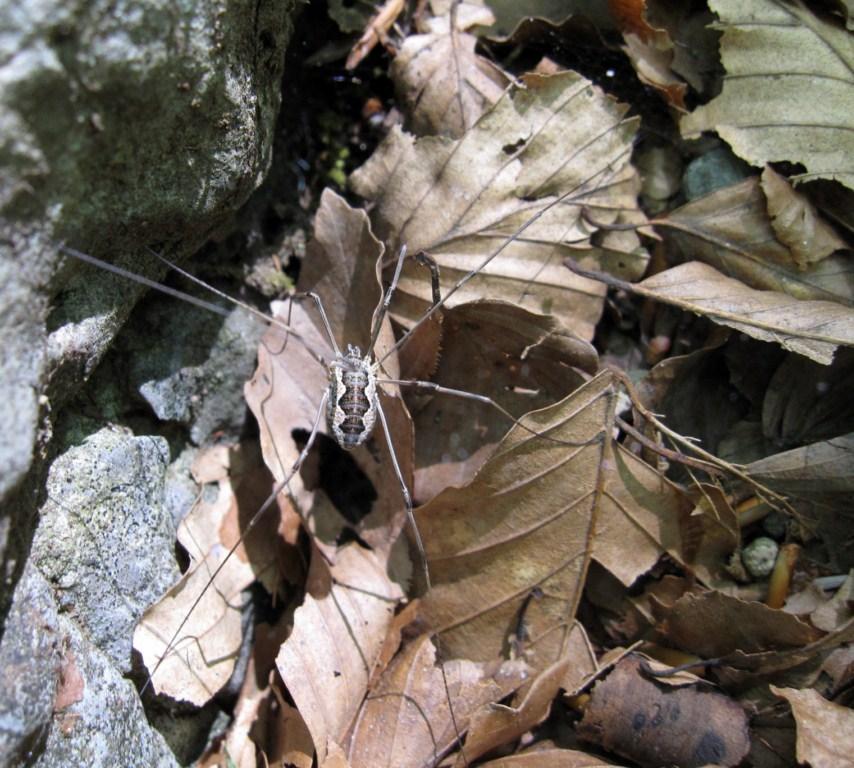 Mitopus morio del Monte Faito (NA)