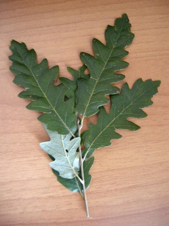 Quercus crenata  / Cerrosughera