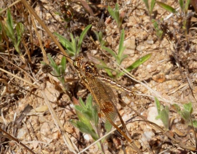 Deleproctophylla australis