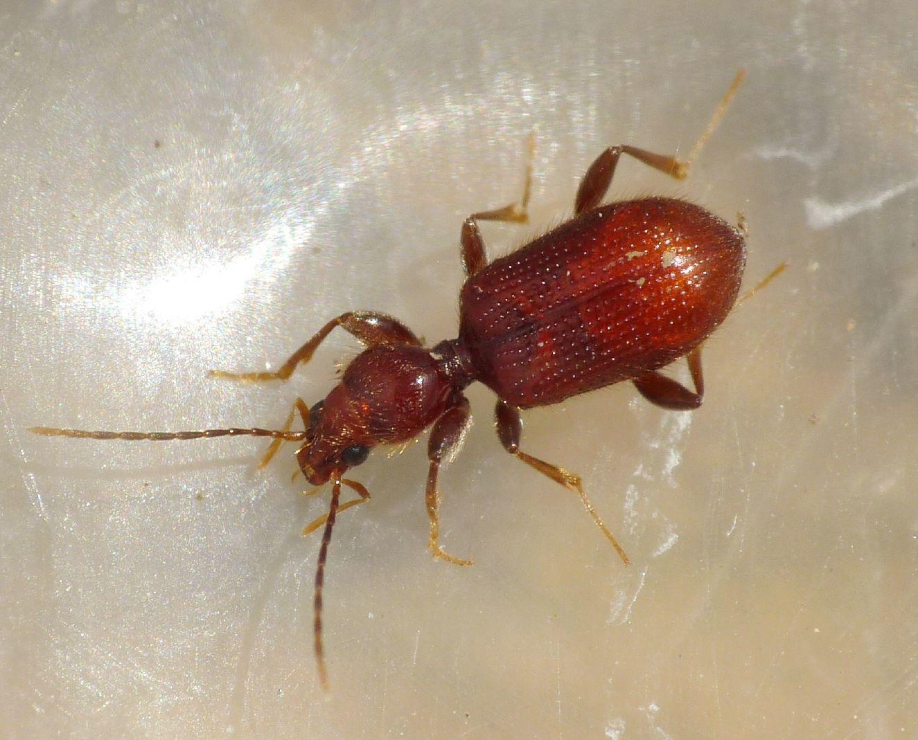 Apotomus rufus (Carabidae)