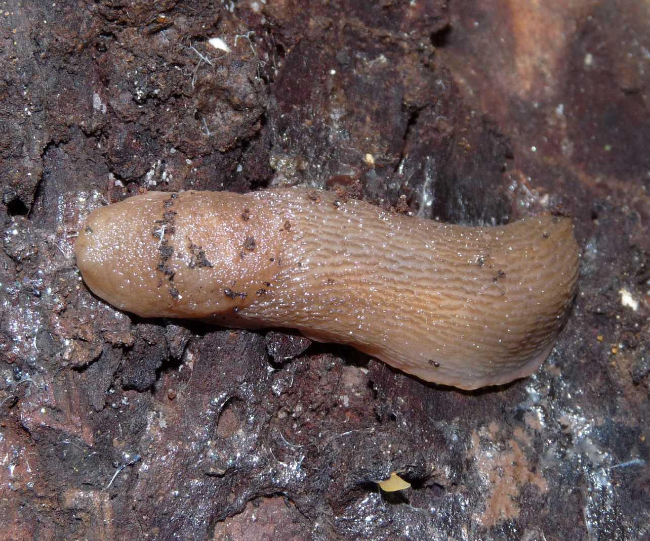 Uova di un Limax del corsicus-gruppo