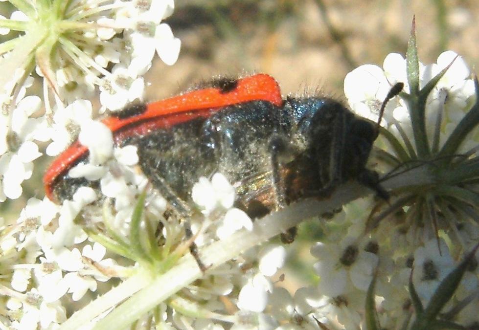 Trichodes alvearius divora un 39 oedemera forum natura for Divora larve di zanzara