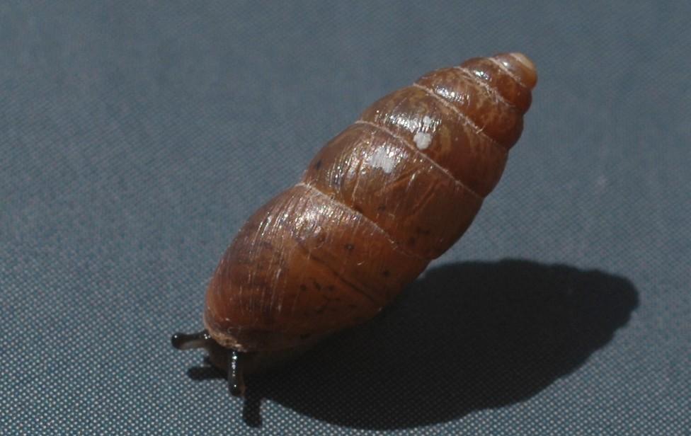 Chondrula tridens dal vivo