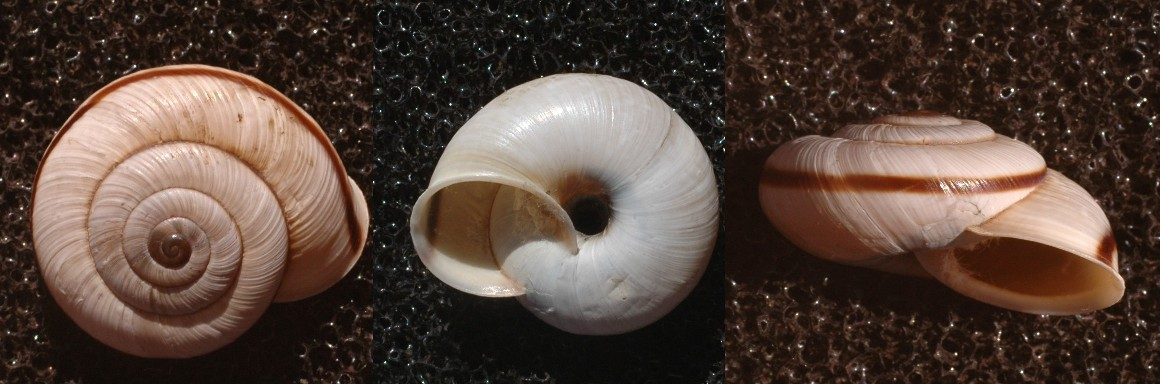 Chilostoma anomali dalla valle di Ledro