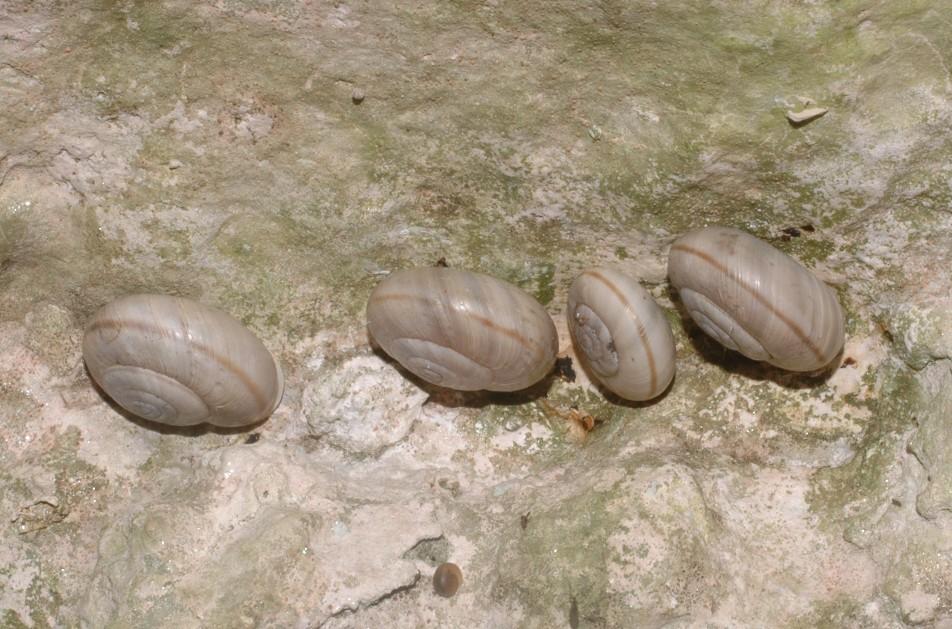 Chilostoma cingulatum dai M.Berici