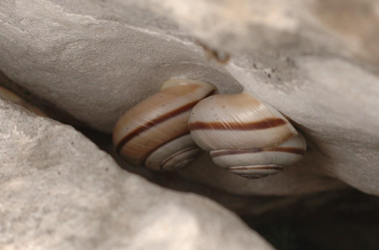 Alla ricerca di Chilostoma cingulatum frigidosum