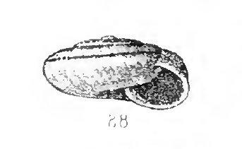 Chilostoma cingulatum insubricum (?)