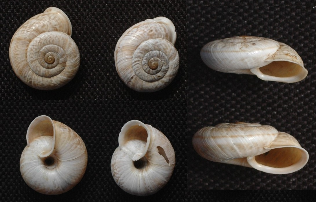 Chilostoma cingulatum medoacense (Adami 1885)