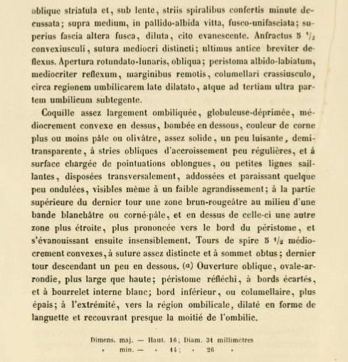Chilostoma  padanum (Stabile, 1864)