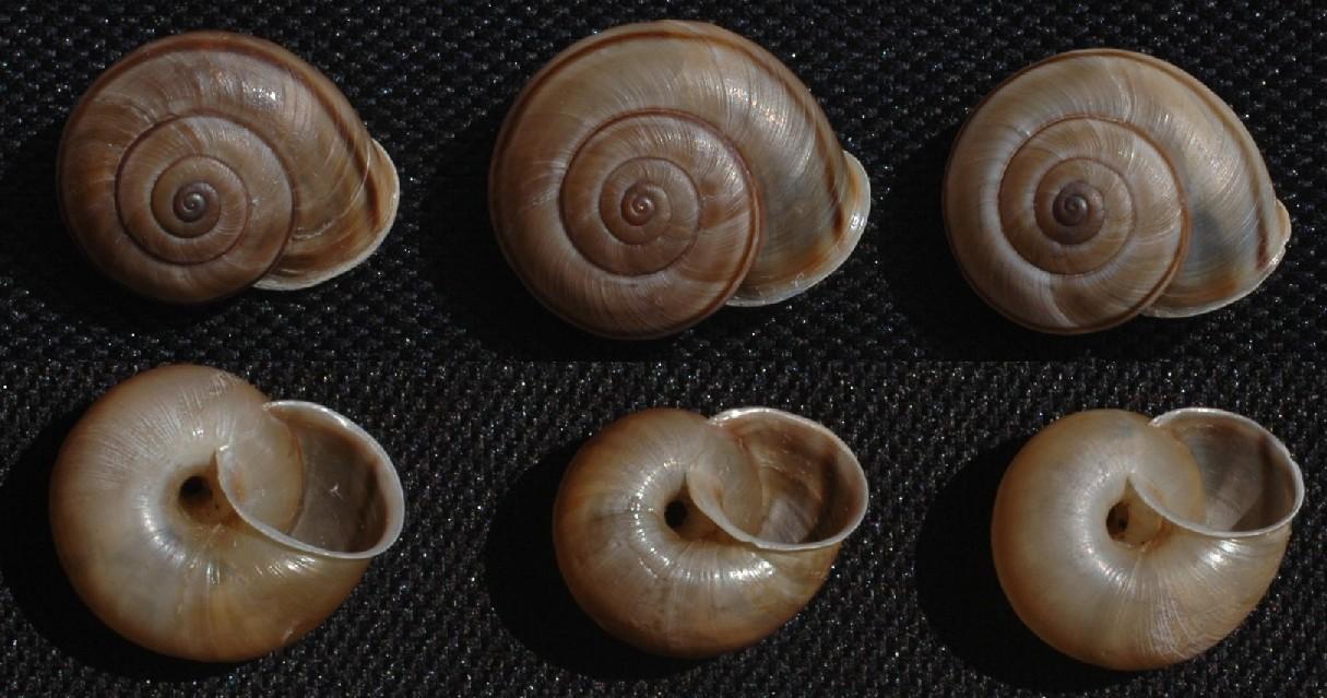 Un''interessante Chilostoma.  Cingulatum?