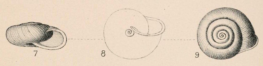 Chilostoma tiesenhauseni (Gredler, 1889)