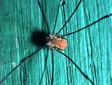 Opilione lombardo: Leiobunum sp.