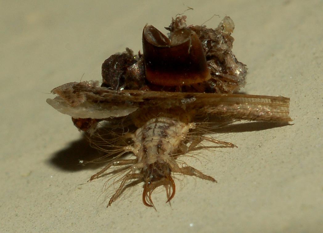 altre larve di crisopa (Dichochrysa sp.)