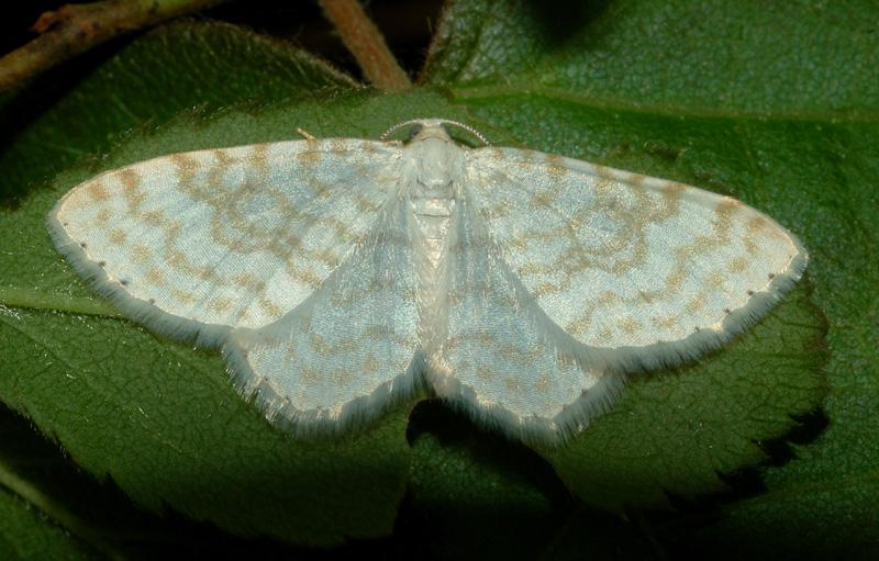 conferma per idaea subsericeata - Asthena albulata