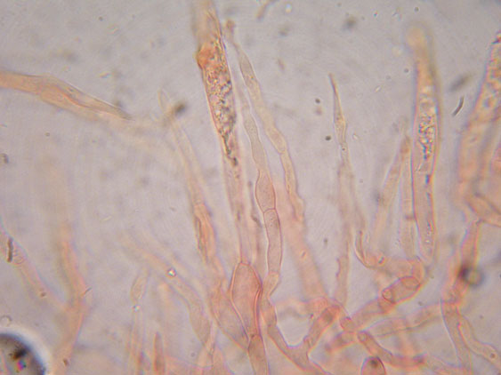 Russula parazurea