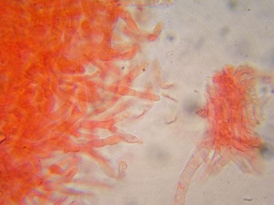 Russula nauseosa