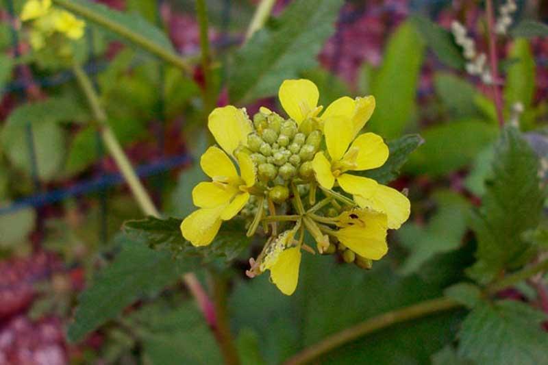 pianta con fiori gialli rapistrum cfr rugosum forum