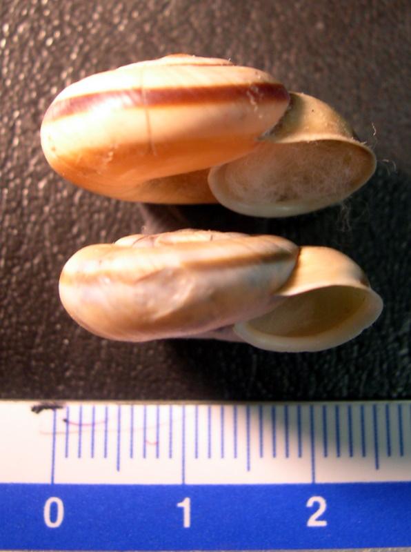 Chilostoma (Chilostoma) cingulatum anconae(Gentiluomo, 1868)