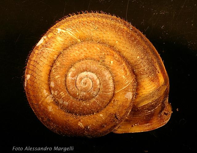 Chilostoma (Campylaea) planospira var. neapolitana