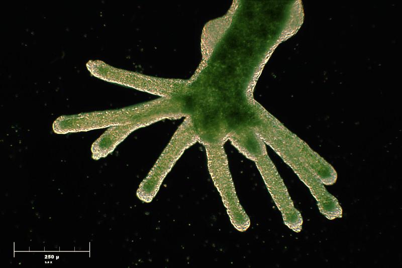 Hydra viridis