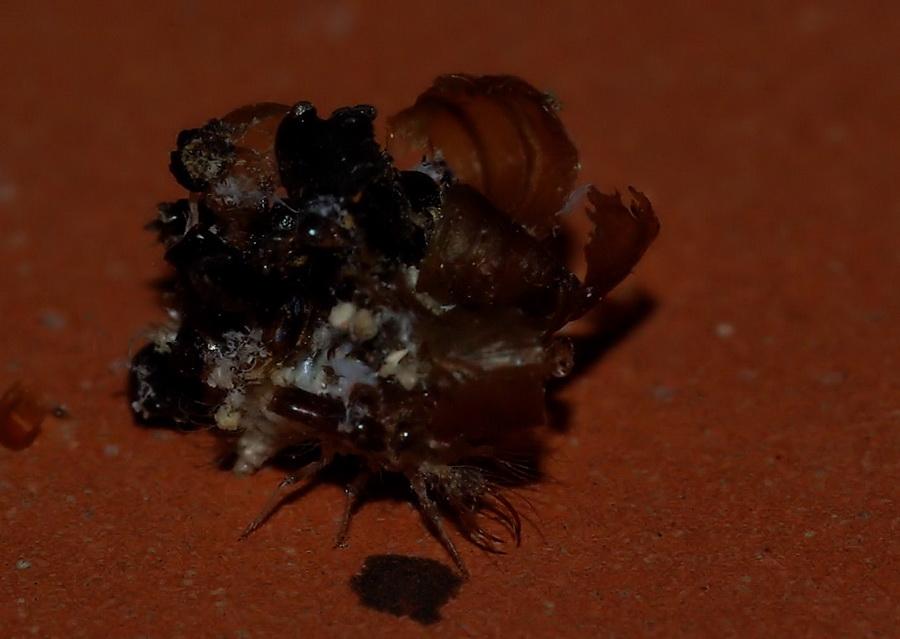 Ammasso di detriti (larva di Dichochrysa sp.)