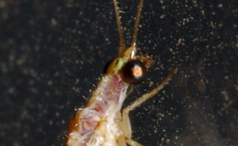 Dichochrysa sp.