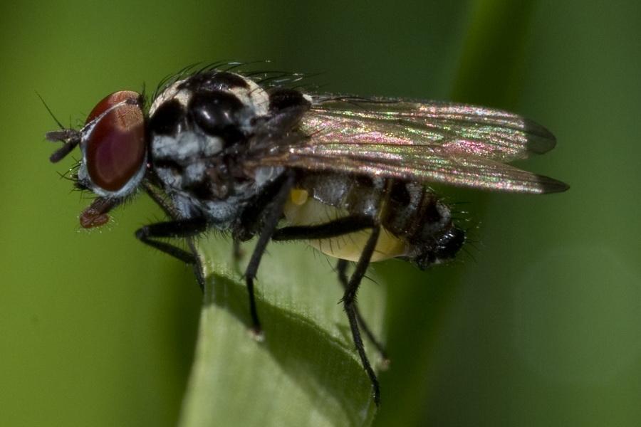 Ripasso mosche bianconere