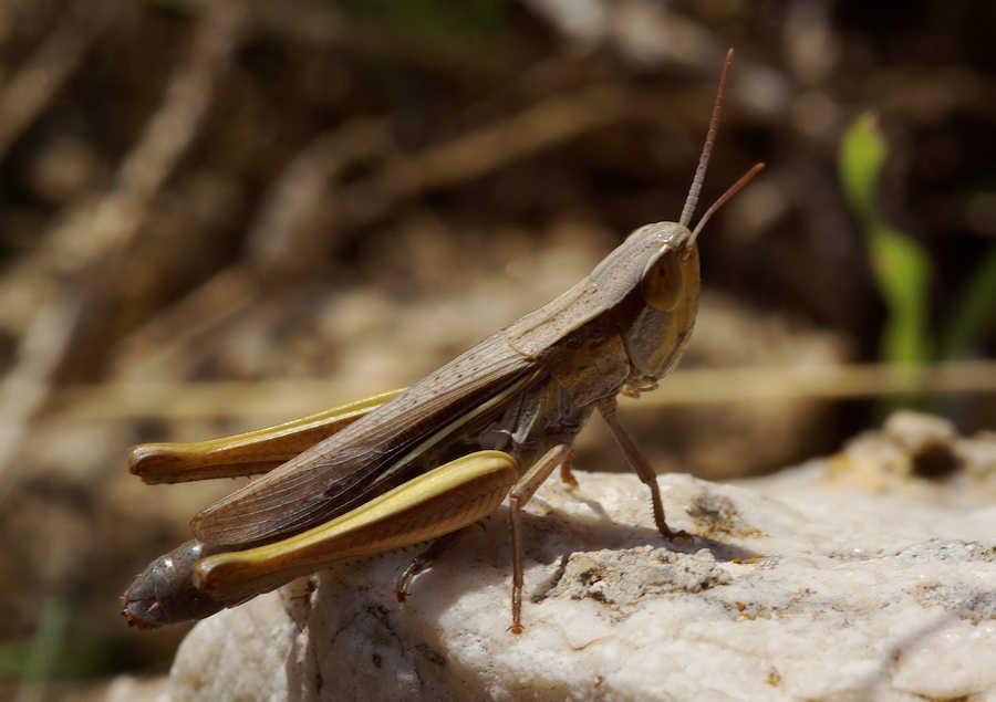 Euchorthippus Albolineatus Siculus Forum Natura
