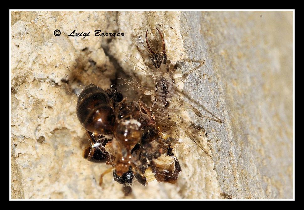 Barbone ricoperto di stracci (larva di Dychochrisa)