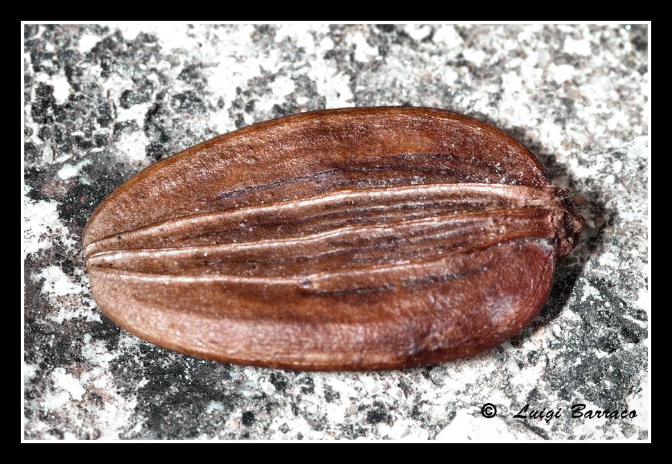 Imitazione: Cossyphus moniliferus