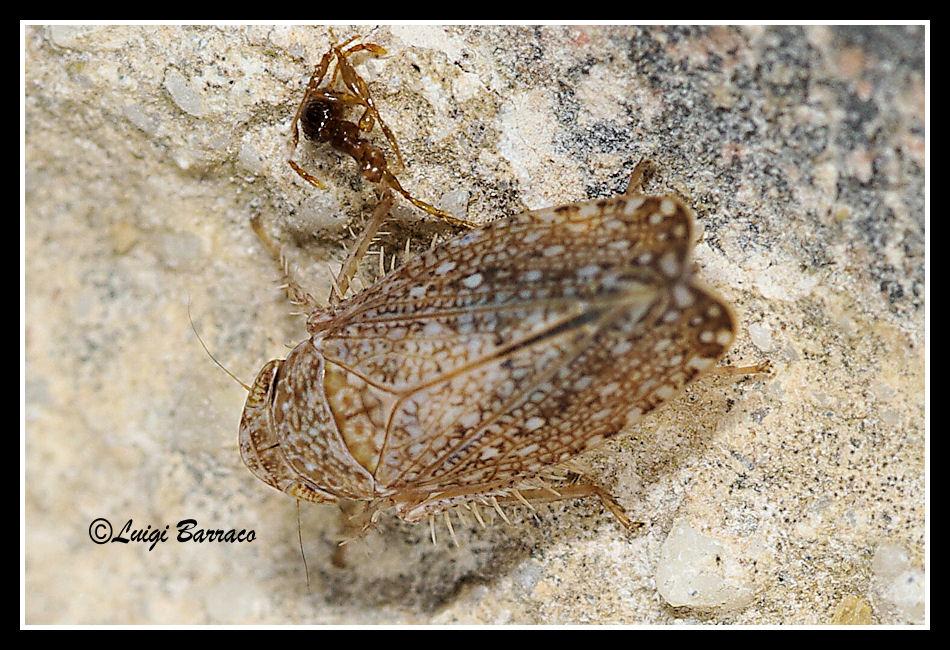 Lavoro per Danilo - Cicadellidae: Phlepsius cf. intricatus