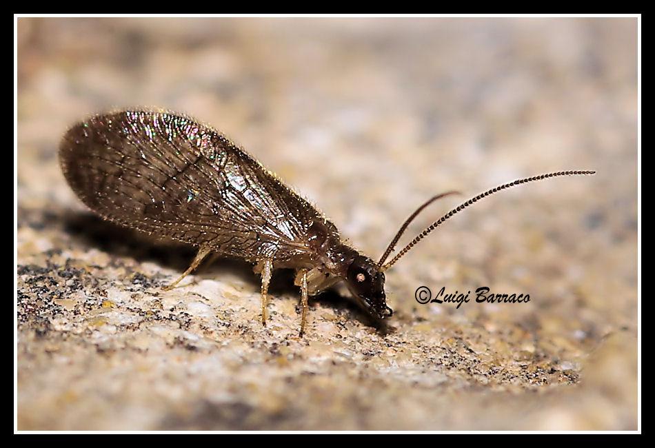 Sympherobius luqueti