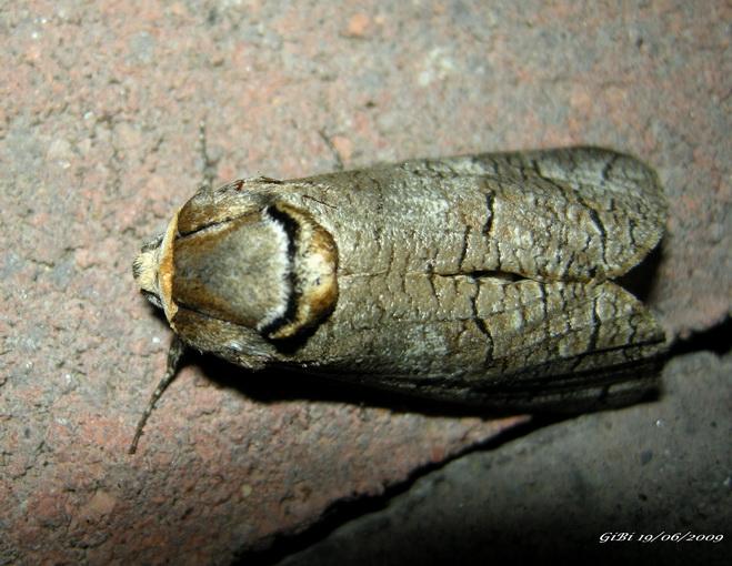 Lamellocossus terebra ? - No, Cossus cossus
