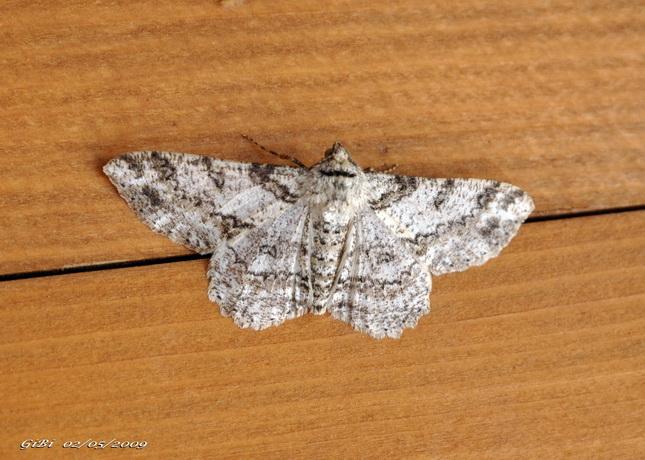 Altra Geometridae - Ascotis selenaria