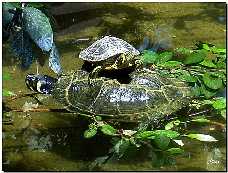 Tartarughe in libert identificazione forum natura for Laghetti per tartarughe