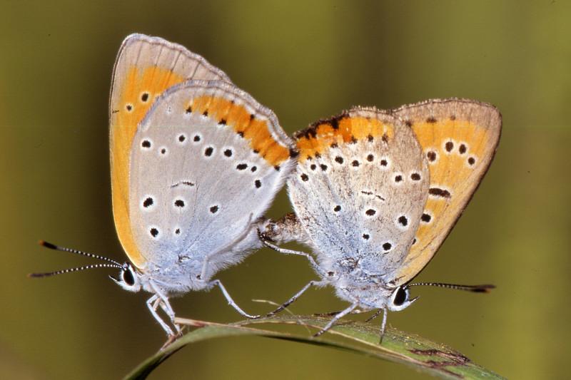 Farfalla rara: licaena dyspar