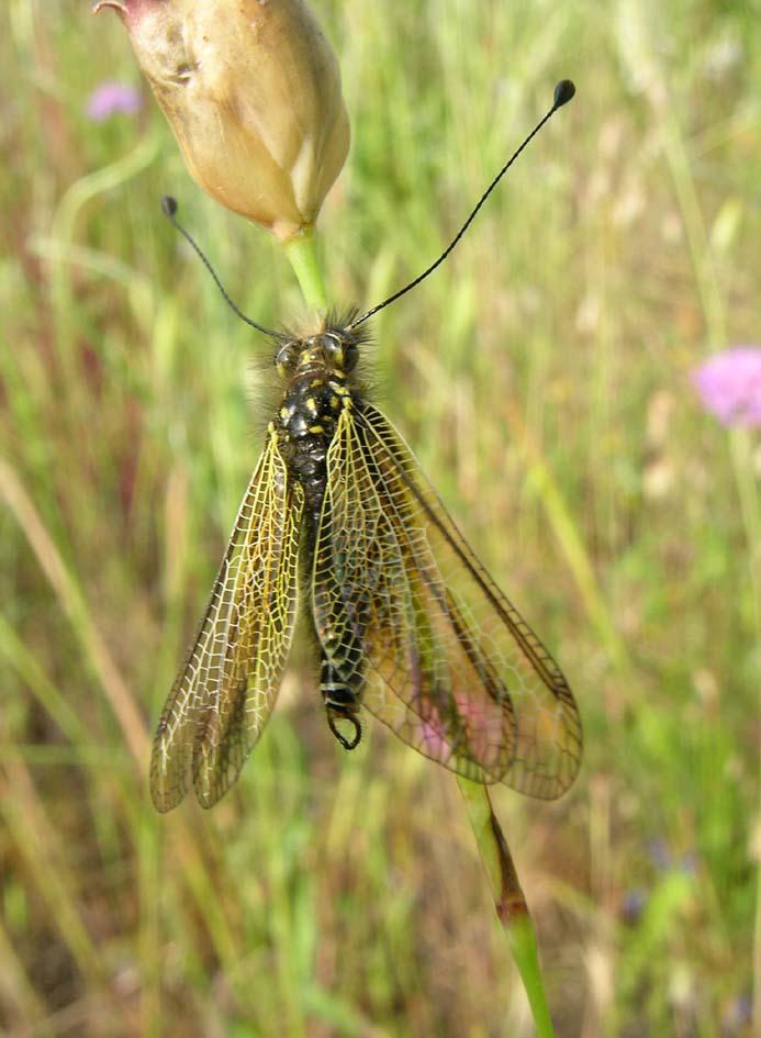 Libelloides corsicus (maschio)