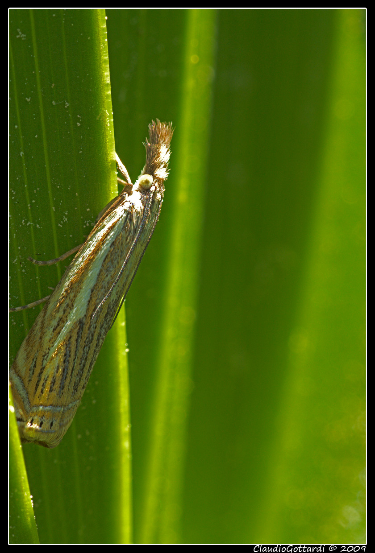da identificare - Crambus lathoniellus