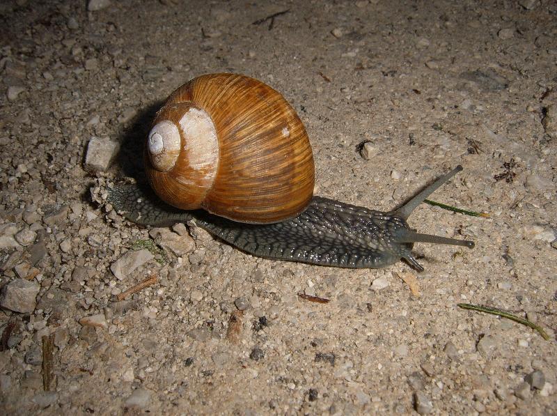 Gasteropodi sloveni da identificare