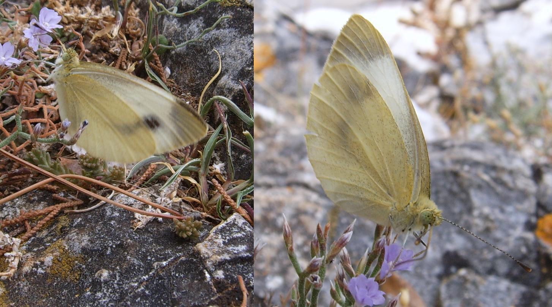 Farfalle croate da id