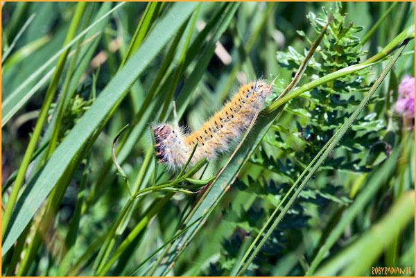 Bruco da identificare - Lasiocampa (Pachygastria) trifolii