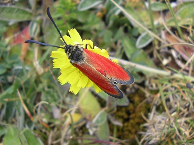 Zygaena (Mesembrynus) rubicundus