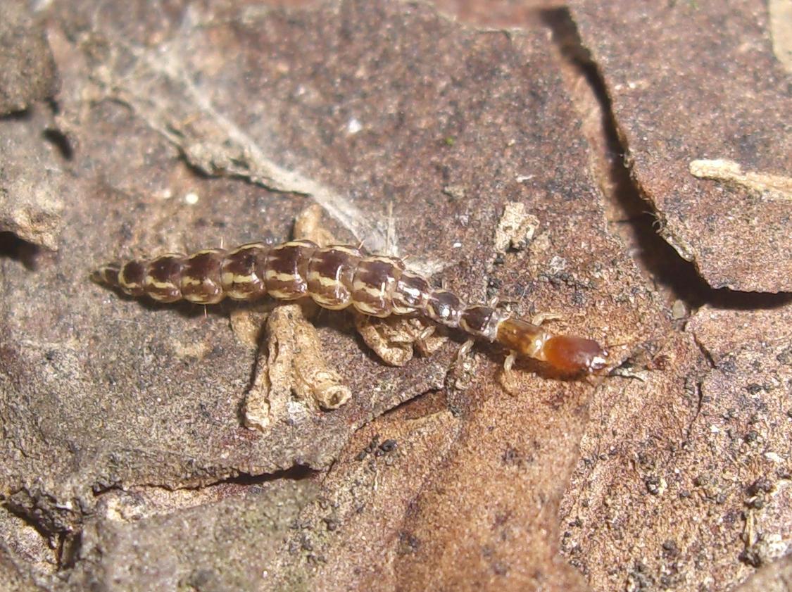 Venustoraphidia nigricollis?