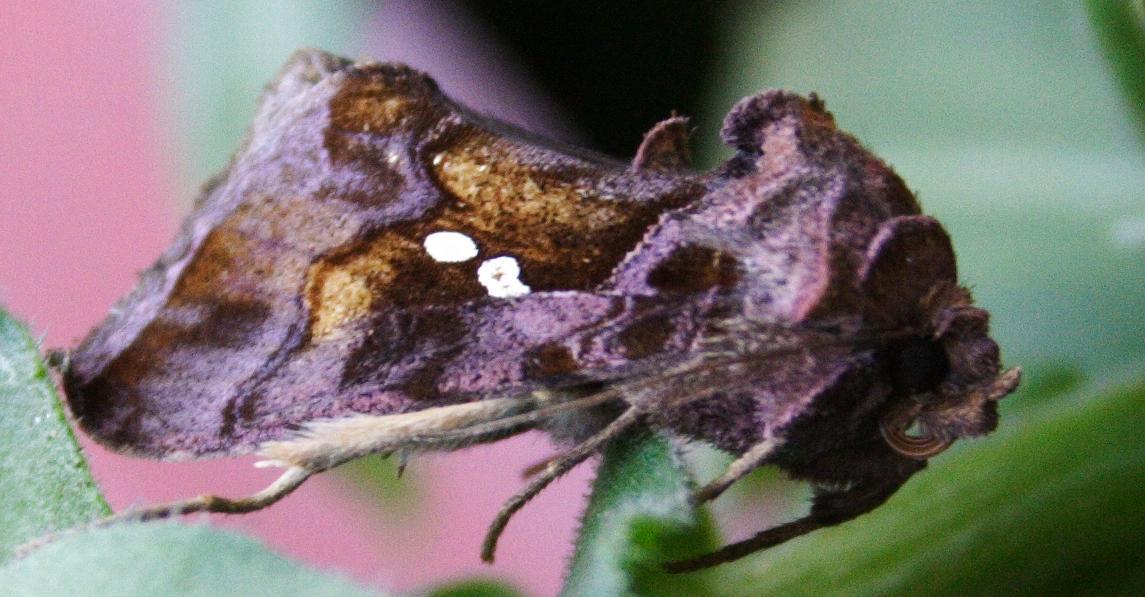 Bruchi su Calendula... - Chrysodeixis chalcites
