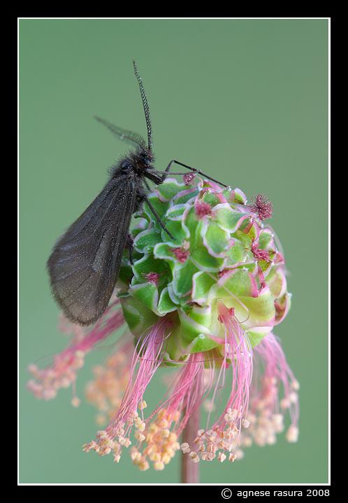 Chiavi di identificazione degli Heterogynidae d''Italia