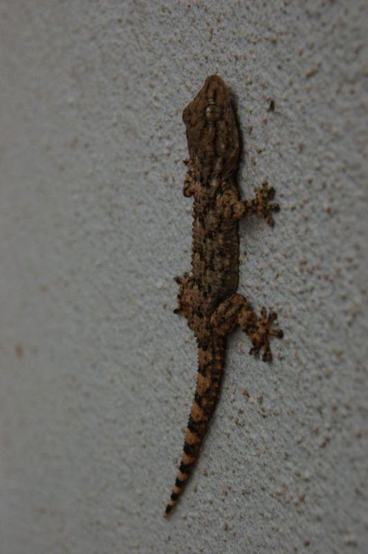 Tarentula mauretanica