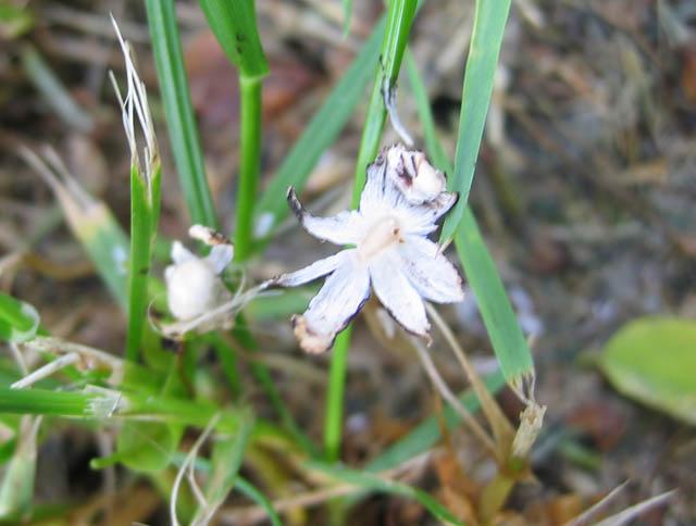 Coprinopsis urticicola var. saliciola
