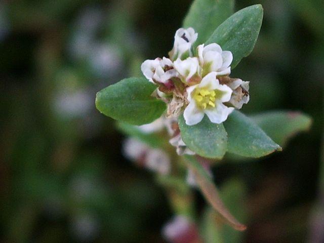 Pianta con piccolissimi fiori bianchi - Polygonum sp ...